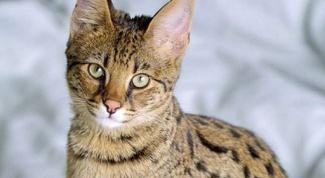 Как взять анализ мочи у кота