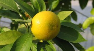Как вырастить лимон в теплице
