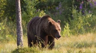 Почему медведь сосет лапу