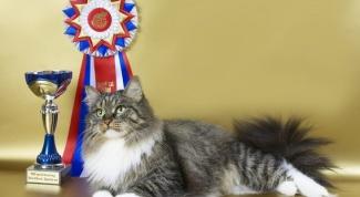 Как подготовить сибирскую кошку к выставке