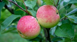 How to grow Apple tree from seeds