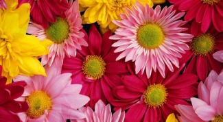 Как разводить хризантемы