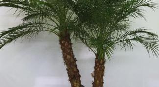 Как растить пальму
