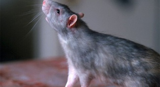 How can one distinguish rats from mice