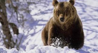 Почему медведя будить нельзя