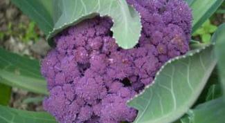 Как хранить цветную капусту