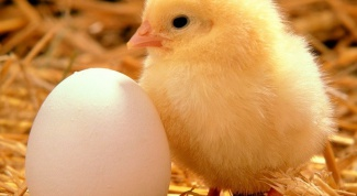 Почему цыплята желтые