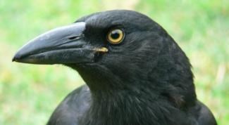 Как сделать клюв вороны