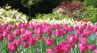 Как сохранить луковицы тюльпанов до весны