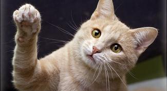Как делать прививки кошкам
