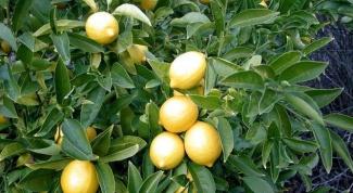 Как подрезать лимон