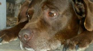Как лечить рвоту у собак