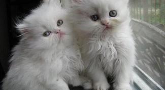 Как ухаживать за персидскими котятами