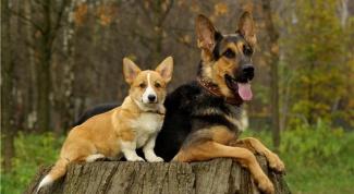 Как вылечить собаке уши