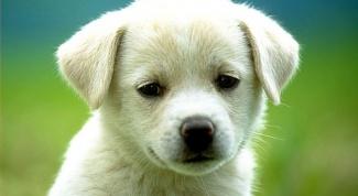 Как вывести глисты у щенков