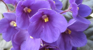 What to do for growing violets from seed
