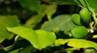 Как посадить кофе