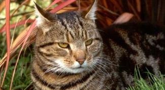 Как лечить дерматит у кошки