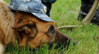 Как тренировать служебную собаку