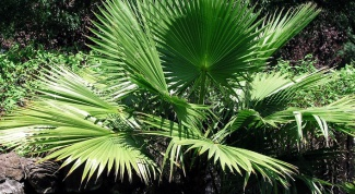 Как ухаживать за комнатной пальмой