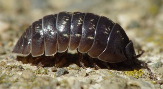 How to get rid of woodlice in the house
