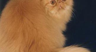 Как кормить персидскую кошку