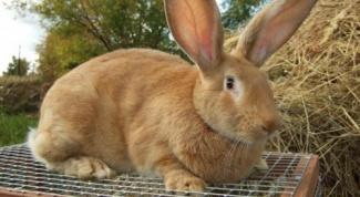 Как ухаживать за кроликом-великаном