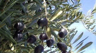 Как выращивать оливки