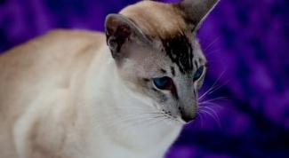 Как отличить ориентальную кошку от сиамской