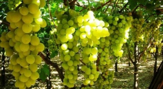 How to treat the grapes from aphids