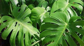 As water monstera