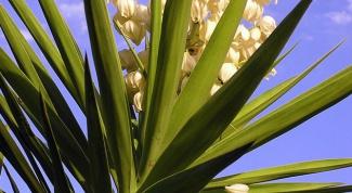 Как пересаживать вечнозеленую юкку