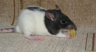 Как купать декоративных крыс