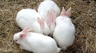 How to determine pregnancy in a rabbit