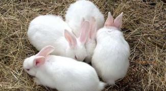 Как определить беременность у крольчихи