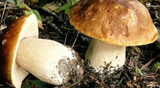 Как вырастить трубчатые грибы дома