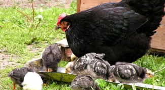 Why chickens lay eggs