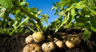 Почему картофель зеленеет