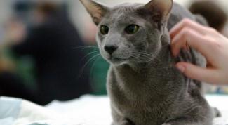 Как подготовить ориентальную кошку к выставке