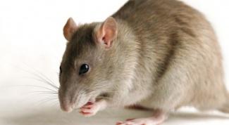 Как истребить мышей
