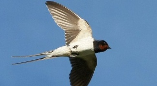 Why before rain, swallows fly low