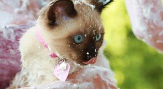 Как ухаживать за сиамскими котятами
