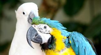 Почему линяют попугаи