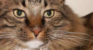 Как ухаживать за сибирским котом