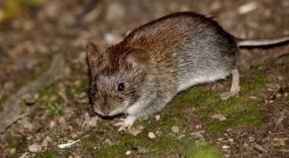 Как избавиться от мышиного запаха