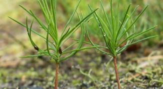 Как выращивать в домашних условиях дерево хвойной породы