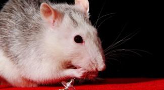 Как кормить домашнюю крысу