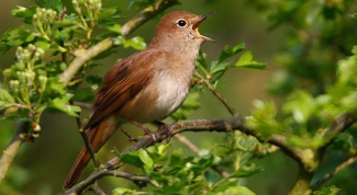 Why nightingales sing in the spring