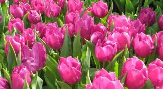 Как сохранить тюльпаны зимой
