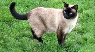 Как отличить тайскую кошку от других
